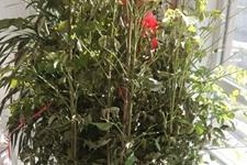 幸福树为什么掉叶子?幸福树盆景刚买回来就掉叶子是怎么回事?