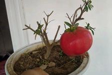 石榴多大能挂果呢?这么小就挂果的石榴盆栽你见过吗?