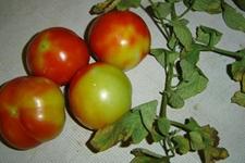番茄花脸病怎么预防?番茄花脸防治方法