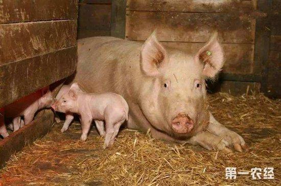 母猪不发情原因有哪些?母猪不发情的原因和解决方法