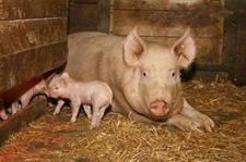 <b>母猪不发情原因有哪些?母猪不发情的原因和解决方法</b>