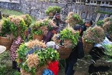 湖南吉首:启动新一轮茶苗定植 赠送茶农茶苗1900万株