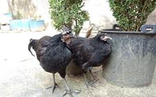 魏先生散养了一群土鸡 他最近有点烦……