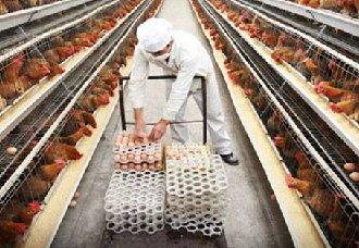 <b>百万蛋鸡场兴起,中等规模的蛋鸡场将何去何从?</b>
