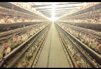 <b>鸡舍的建设标准以及环境管理</b>