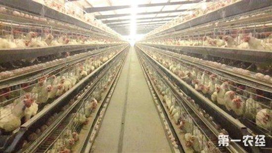 鸡舍的建设标准以及环境管理