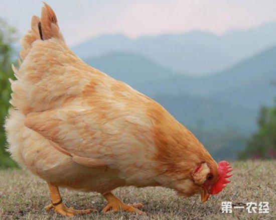 三黄胡须鸡