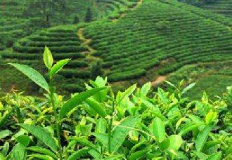我国茶产业正逐步走向成熟 多方面展示出出良好发展势头
