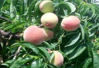 桃树常见的病害有哪些?桃树常见病害的症状与防治方法