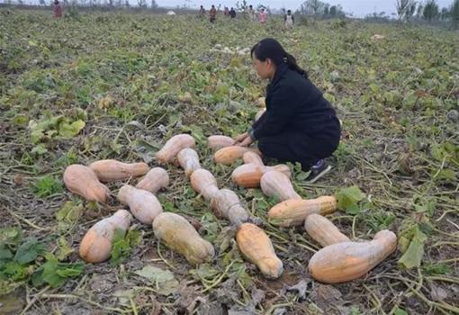 """河南郏县鲁庄村800吨南瓜滞销 南瓜变""""难瓜"""""""
