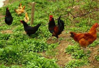 <b>在家禽可持续发展中,福利养殖会带来哪些作用?</b>
