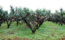 <b>山东省郯城县:冬桃种植甜蜜蜜,成熟收获供市需</b>