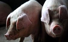 <b>非洲猪瘟带来的影响:南北双方各不同!</b>