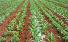 玉米大豆套种技术测试结果喜人 有望填补我国大豆缺口