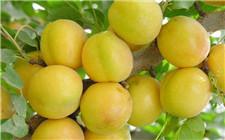 新疆轮台县发展特色水果产业 通过电商实现脱贫致富目标