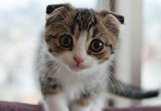 折耳猫一只多少钱?