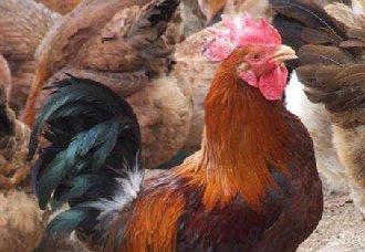 养鸡垫料要怎么选择?如何使用和消毒?