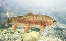 <b>虹鳟鱼的常见疾病有哪些?虹鳟鱼的常见病害及防治</b>