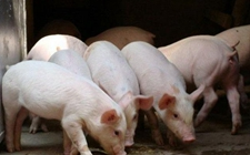 福建:多地开展非洲猪瘟严密防控工作