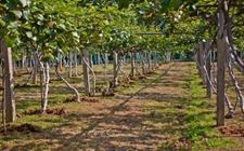 <b>贵州省水城县:凭借猕猴桃种植搭上致富快车</b>