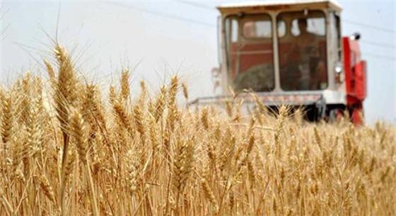 小麦最低收购价调低 小麦主产区对市场依然保持乐观