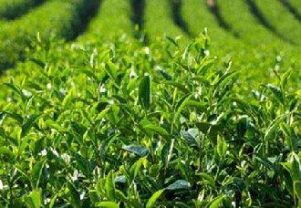 湖南化眉村:发展千亩茶叶产业 拓展贫困户增收渠道