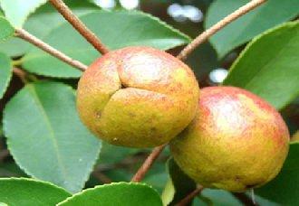 海南琼海油茶获政府扶持政策 如今已成重要的支柱产业