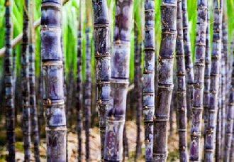 <b>甘蔗得了梢腐病怎么办?甘蔗梢腐病的防治技术</b>