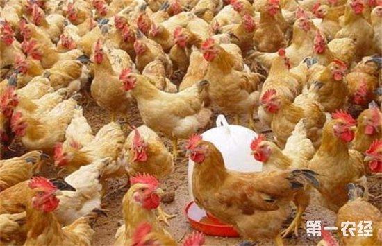 """""""地下养鸡""""到底是新型养鸡模式还是炒作?"""