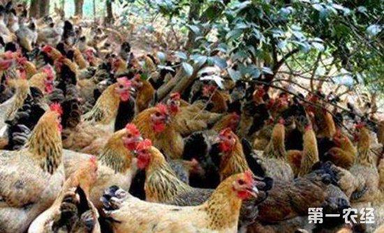 鸡曲霉菌病要怎么防治?鸡曲霉菌病的防治措施