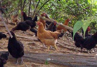 <b>养鸡场中的鸡粪要怎么处理?鸡粪的处理方式</b>