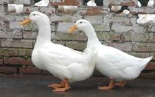 <b>养鸭常见疾病有哪些?养鸭的常见疾病介绍</b>