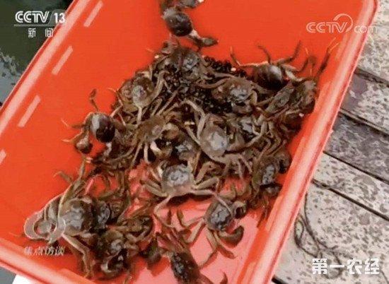 《焦点访谈》曝光阳澄湖大闸蟹造假 苏州市启动专项治理行动