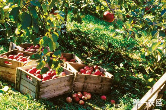冬季要如何管理好果园?果园的冬季管理技术