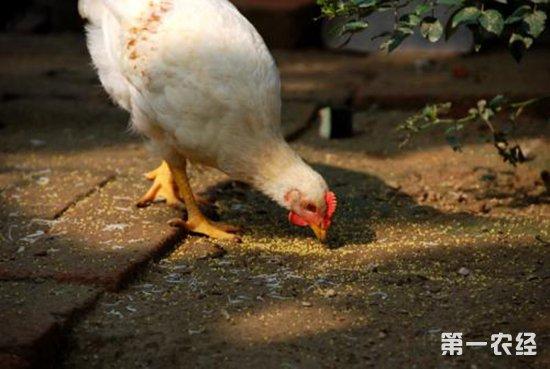 2018年11月30日养鸡市场行情如何?今日养鸡行情概述