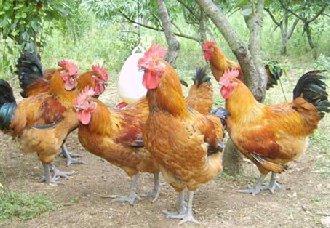 <b>被限期整改的养鸡场隐瞒转让,法院判决转让合同无效</b>