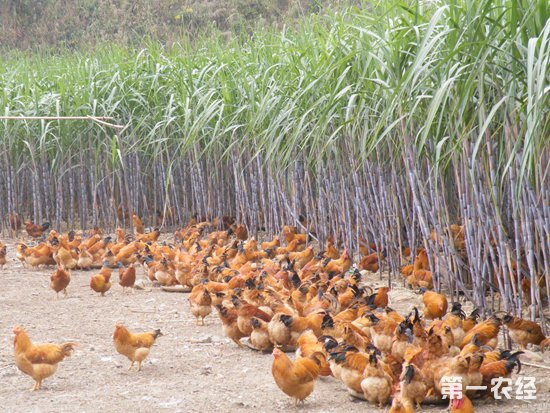 病后的蛋鸡要怎么恢复生产性能?