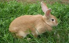 兔子得了球虫病怎么办?兔子球虫病吃什么药?