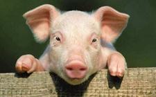 <b>非洲猪瘟疫情政策解读:种猪、仔猪调运难度或将降低</b>