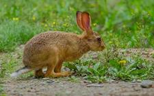 野兔和家兔有什么区别?野兔和家兔的区别