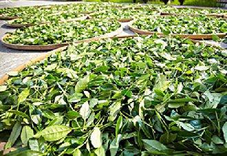 湖南石门县:制定多个战略 助推茶产业的发展