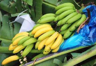 <b>香蕉得了枯萎病有哪些症状?香蕉枯萎病的症状与防治方法</b>