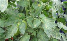 番茄叶片发霉怎么办?番茄叶霉病的防治方法