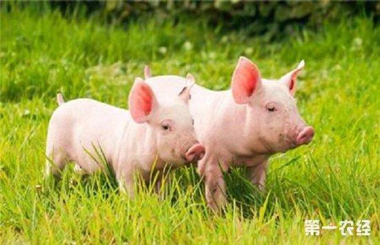生态猪要怎么养?生态猪的澳门永利娱乐网址技术