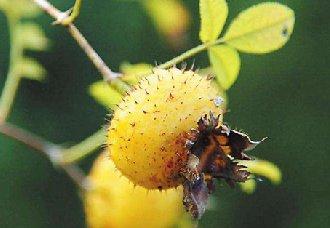<b>刺梨常见的病虫害以及防治措施</b>