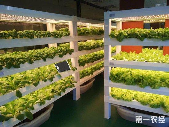 没有阳光和土壤也能种出菜?植物工厂是怎么做到的?