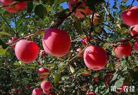 苹果锈病都有哪些症状?又该如何防治?