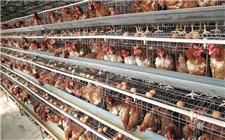 12月鸡蛋鸡肉价格走势分析 价格将小幅度上涨