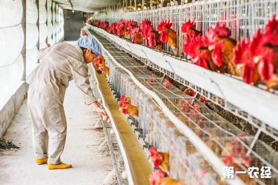 鸡舍中氨气浓度高怎么办?可以使用这几种方法解决