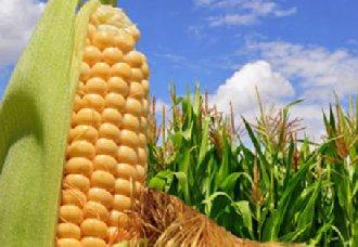 2019年玉米补贴要取消?关于玉米补贴的10大问题